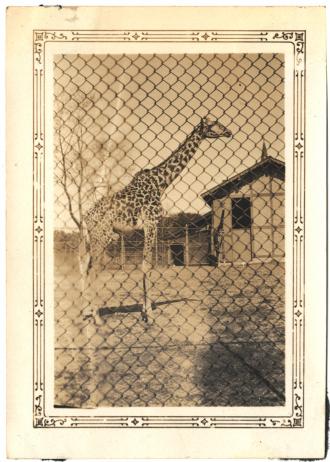 Giraffe in an old-style zoo