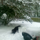 Bear in Snow, Lake Oswego