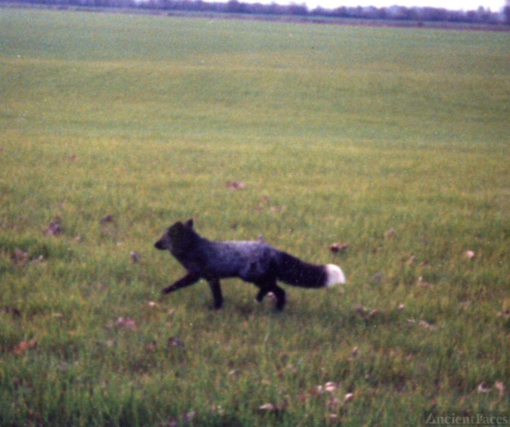 Silver Fox near Peoria Oregon