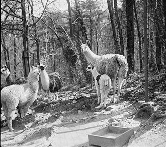 Zoo: llama