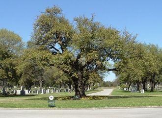 Turner Oak @ Greenvwood Cemetery