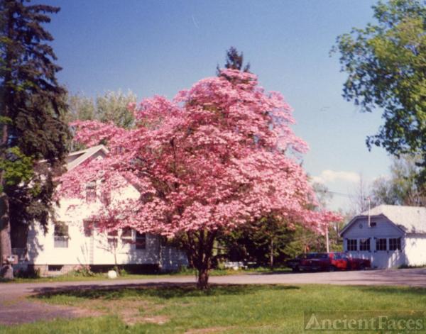Pink dogwood tree, Smith's house