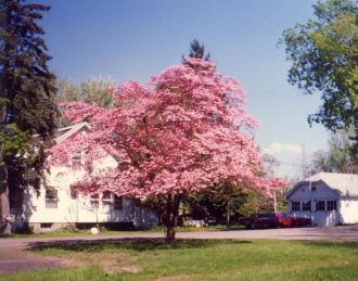 Pink dogwood tree, Smith's house