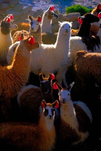 Victor Englebert photo of Llamas