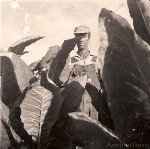 Tobbacco Crop