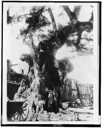 The Famous Columbus tree at Santo Domingo, Dominican...