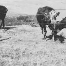 Cows in Montana