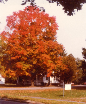 Smith house, maple tree