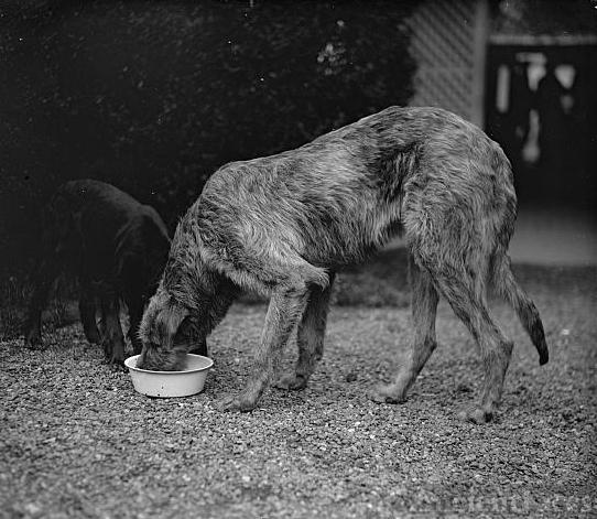 Pat, Irish Wolfhound, 4/11/29