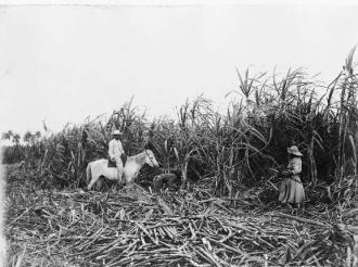 Cutting cane on a Cuban sugar plantation